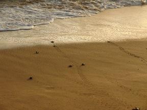 Baby turtles running to the water to start their long life journeys, Kosgoda, Sri Lanka.