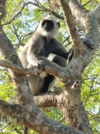 Monkey chilling in the sun, Yala National Park, Sri Lanka.