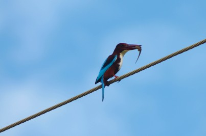 A cunning kingfisher catches a lizard, Midigama, Sri Lanka