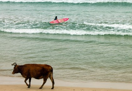 Cows walking on the beach as a girl paddles out to catch a few waves before sunset, Welligama, Sri Lanka