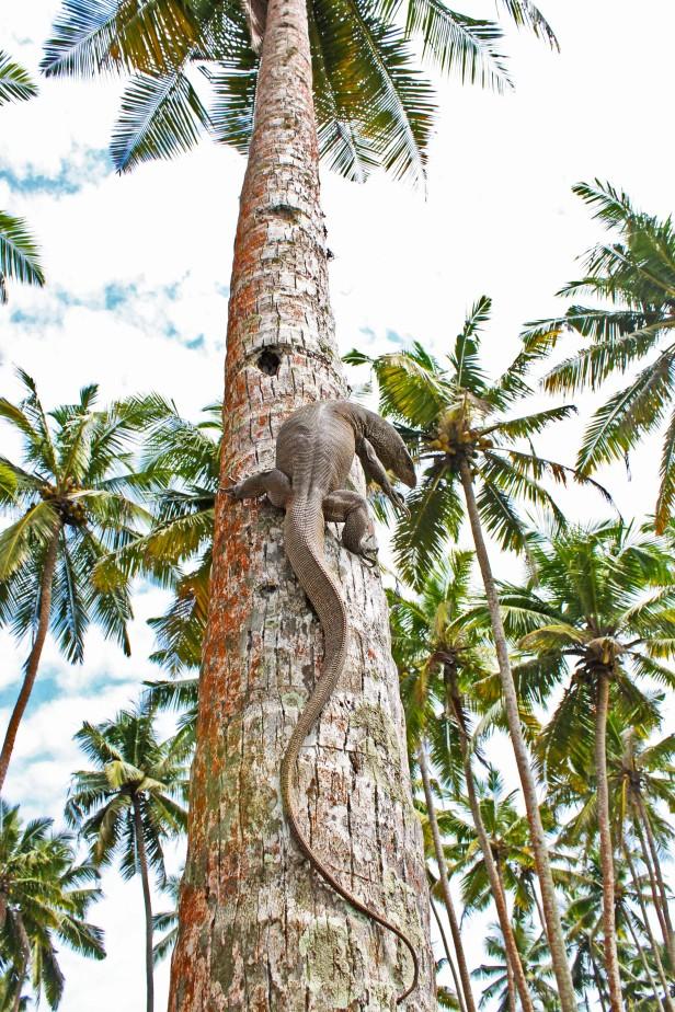 Big lizards chilling in the trees around Midigama, Sri Lanka