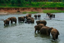 Elephants getting their daily bath and playing in the river, Pinewalla, Sri Lanka